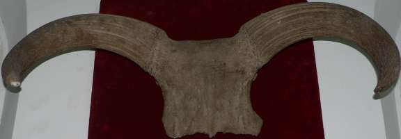 Urus horns, fossil from Antipa Museum (Bucharest)