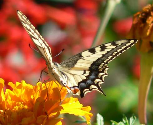 Papilio machaon, August 2006, in Bucharest, in the garden of the Patriarchy